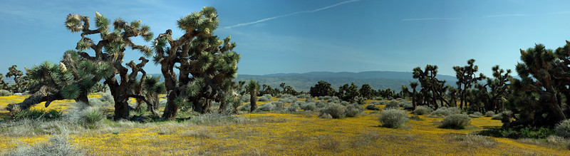 Joshua Tree Forest in Antelope Valley, CA - March 2010
