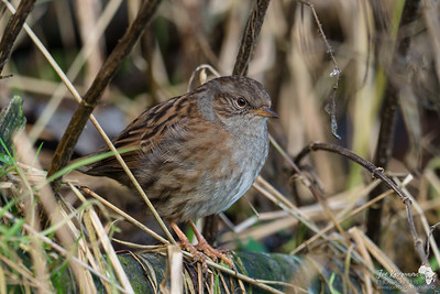 Serious Looking Dunnock