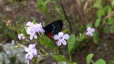 Bahamas: Birds and Butterflies