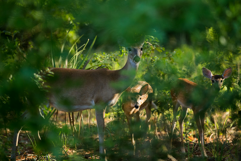 A doe and her two fawns peer through the leaves
