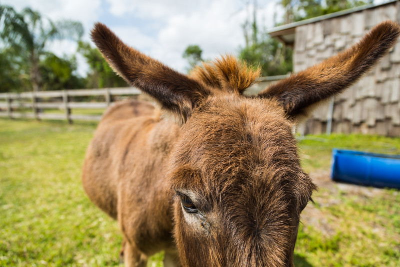 Saturday on the farm with Phoenix and her friends, March 25, 2017 in Loxahatchee Groves. (Joseph Forzano / Deep Creek Films & Photography)
