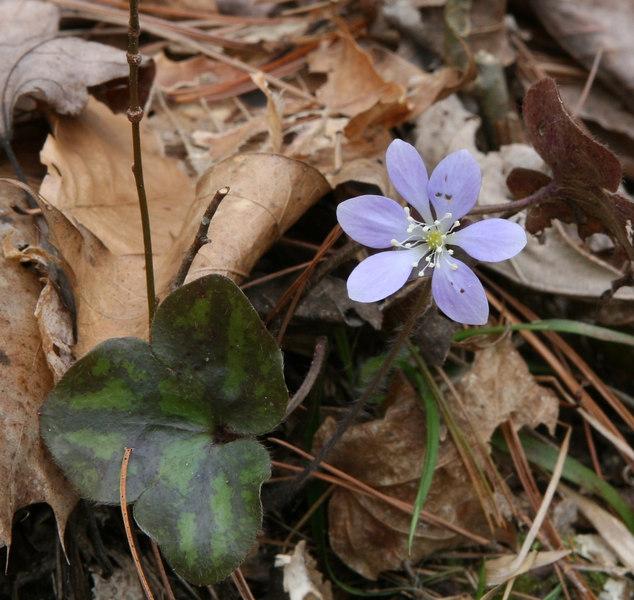 Hepatica nobilis    obtusa.jpg