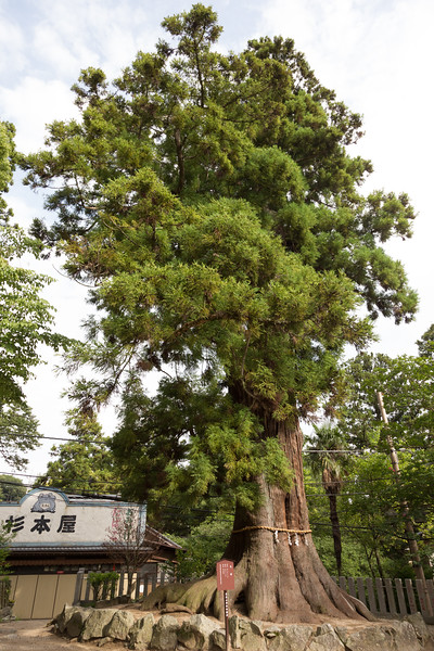 A Japanese cedar said to be 800 years old.