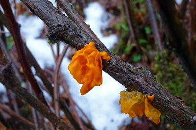 DAY 320 - November 16, 2011 - Tremella Mesenterica (Orange-Yellow Gelatinous Fungus) Cynthia Meyer, Tenakee Springs, Alaska