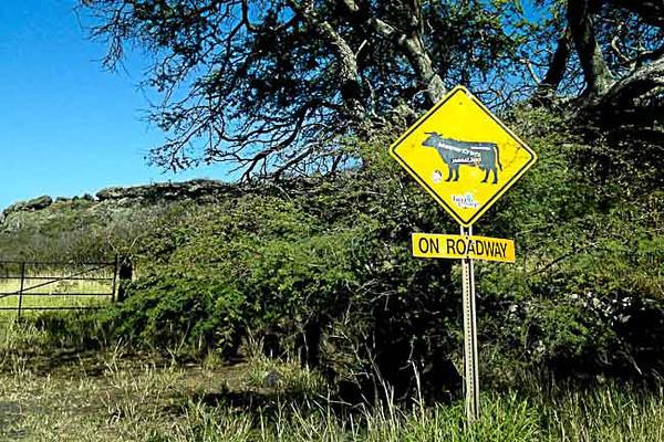south hana cow on roadway.jpg
