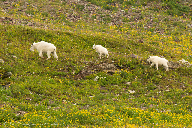 Mountain goats grazing.