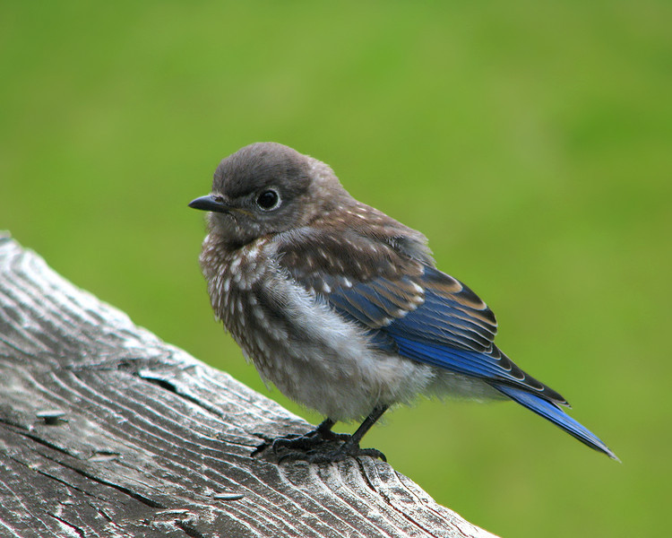 bluebird_fledgling_9299_1.jpg