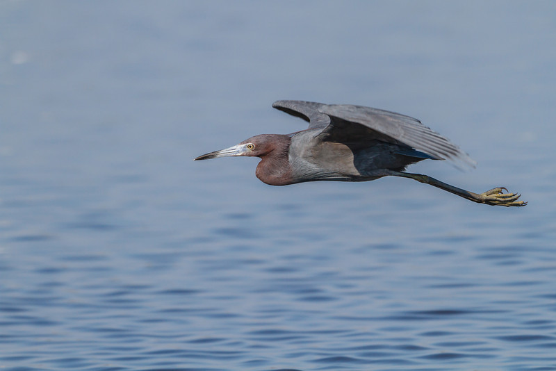 Little Blue Heron, Merritt Island NWR