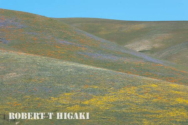 Gorman Hills- wildflowers
