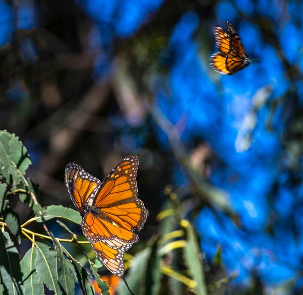 Monarch Butterfly-19.jpg