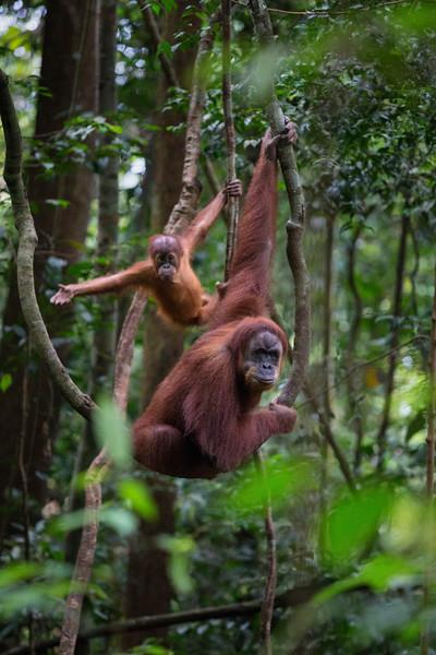 A female and baby Sumatran Orangutan rest on a vine in Gunung Leuser National Park, Sumatra.