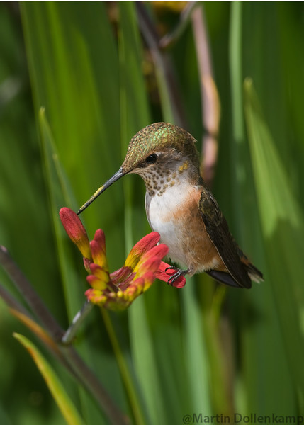 Rufous Hummingbird, juvenile male, at the Crocosmia Selasphorus rufus