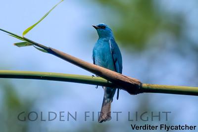 Verditer Flycatcher, Kaeng Krachan, Thailand