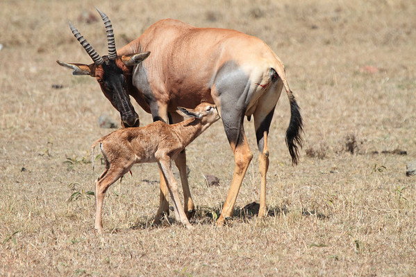 Birth of a Topi Mara Reserve Kenya 2012