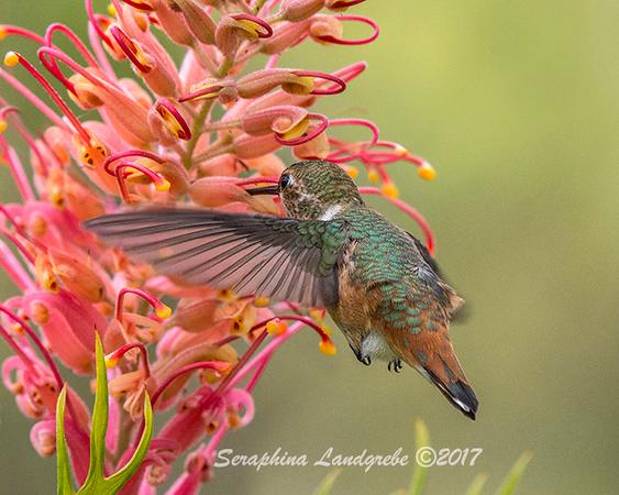 _DSC5597Allens Hummingbird.jpg