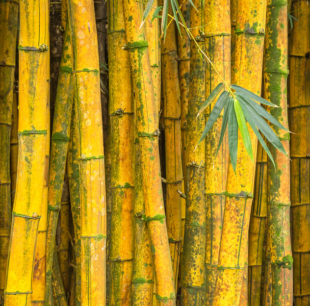 Yellow Bamboo Forest, Study 3, Maui, Hawaii