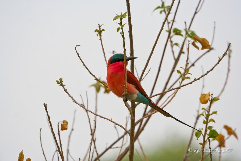Southern Carmine Bee-eater, Moremi Game Reserve, Okavango Delta, Botswana