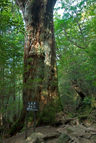 Sign beneath a large tree in Shiratani Unsuikyo - Yakushima, Japan