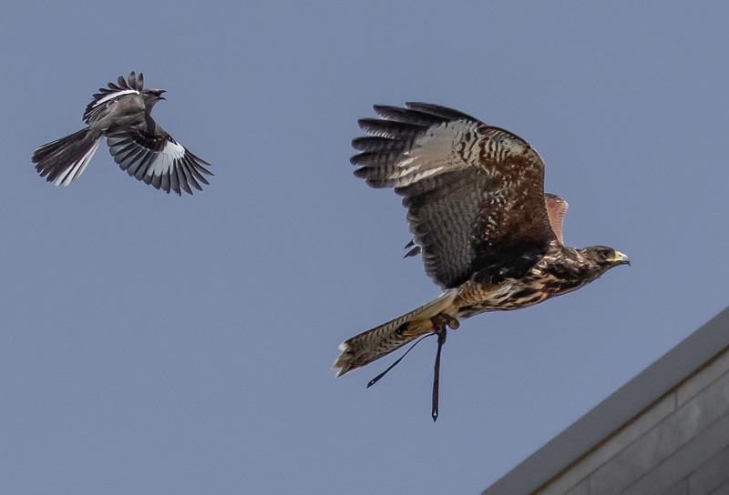 Harris's Hawk & Mockingbird chase