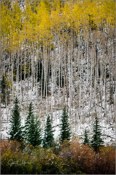JM8_8276 Aspens and pine trees LPN r1WM.jpg