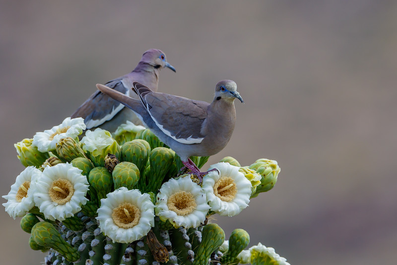 White-winged Dove at Saguaro National Park (Arizona)