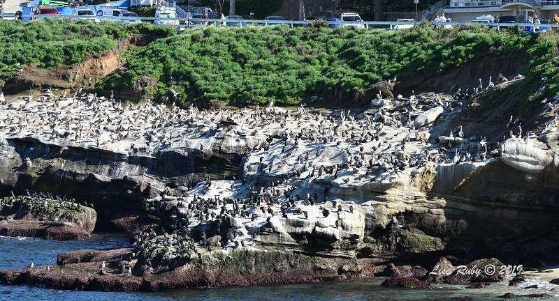 Pelicans, Cormorants, and Gulls - 3/8/2019 - La Jolla Cove