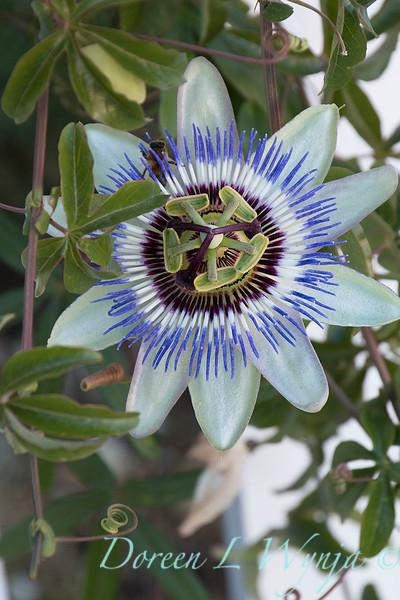 Passiflora caerulea_8160.jpg