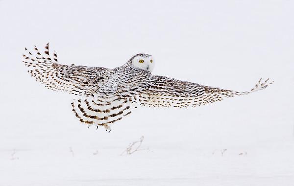 Snowy Owls 2010