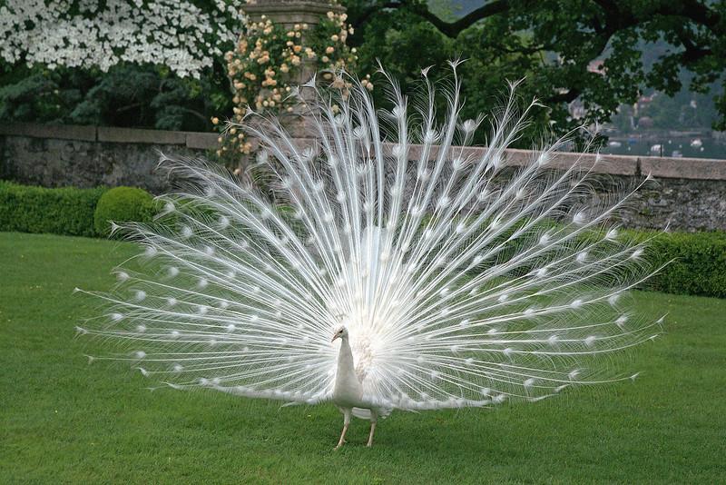 Peacock 6 x 4 300 dpi 2089 tune.jpg