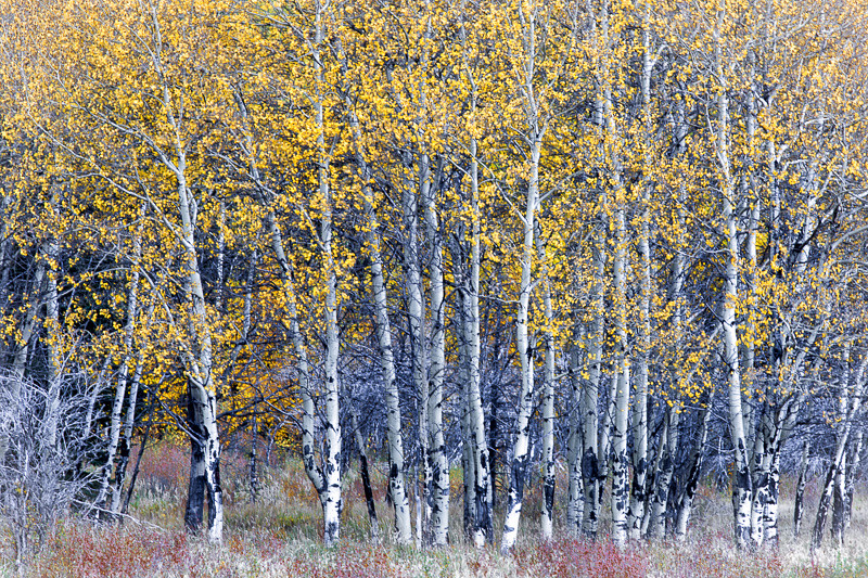 September 17 - Aspen Grove, Banff National Park, Canada.jpg