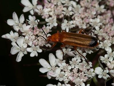 Soldier Beetle (Rhagonycha fulva)