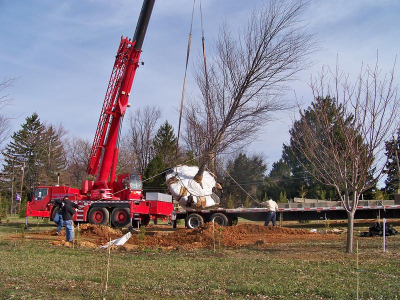 Craning specimen tree onto trailer.