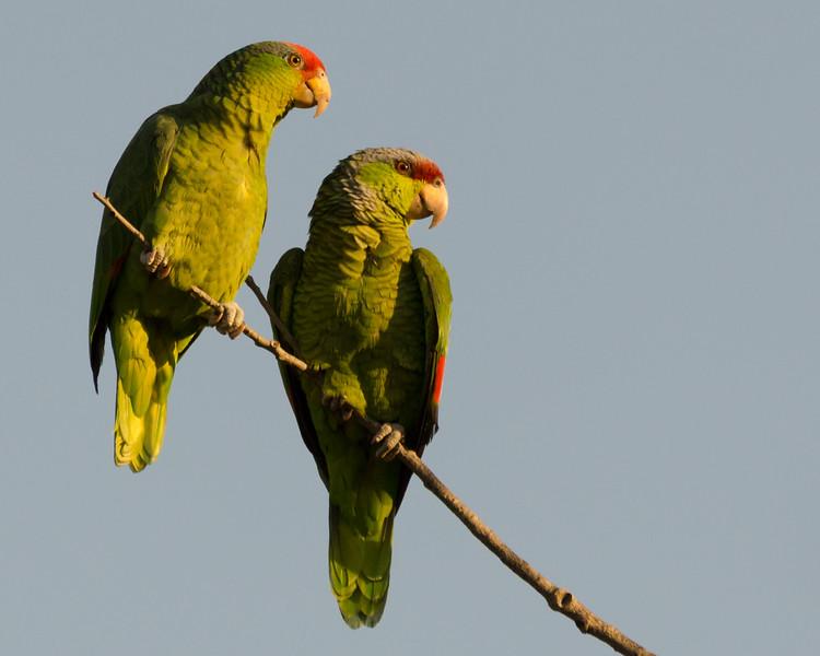 Parrots2014Jan-9586-2.jpg