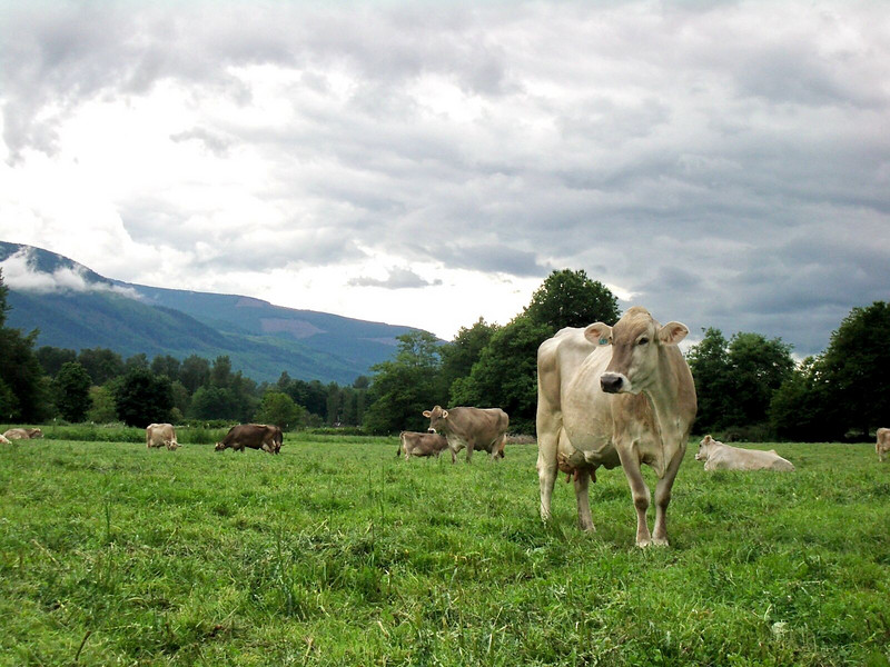 cows and clouds.jpg