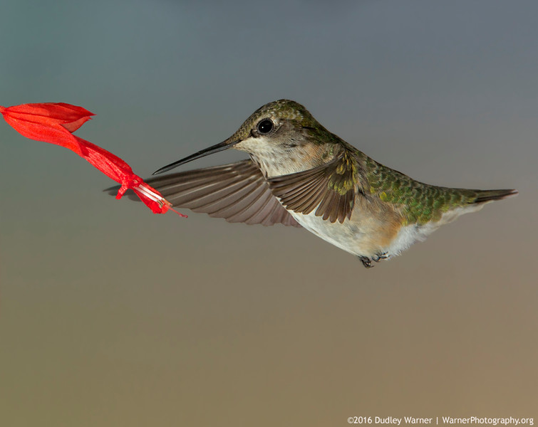 Ruby-throated Hummingbird Feeding (2).jpg