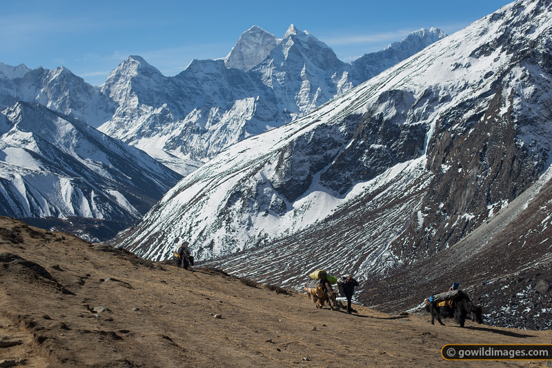 Yak train heading from Dingboche to Dughla, en route to base camp