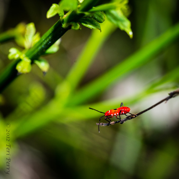 INSECT - on russelia-2218.jpg