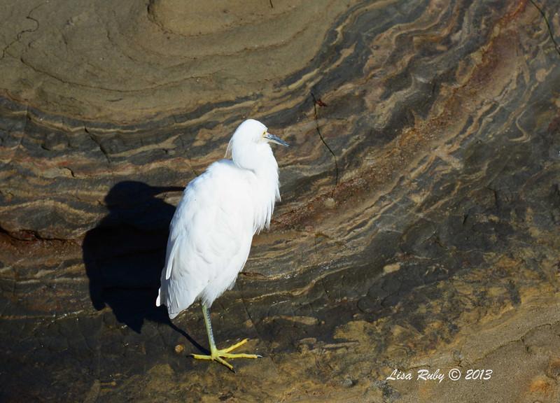 Snowy Egret - 12/1/13 - La Jolla Cove