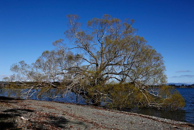 Lake Te Anau Tree.jpg