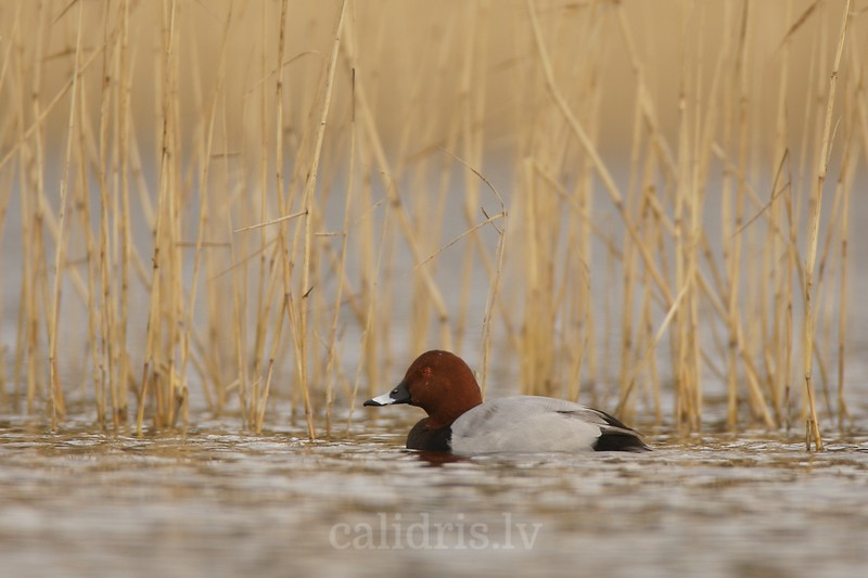 Pochard (male breading)