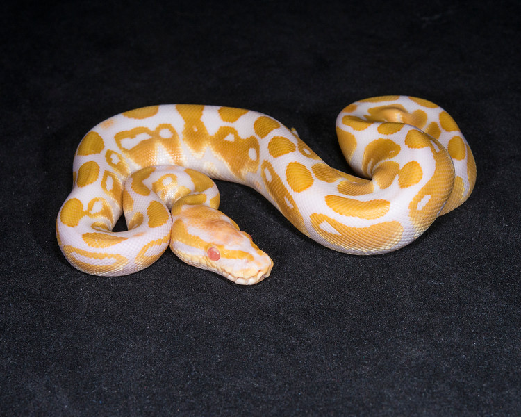 1857_F Albino, $200