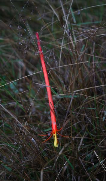 Six inch long blossom fed on by Swordbilled Hummingbird