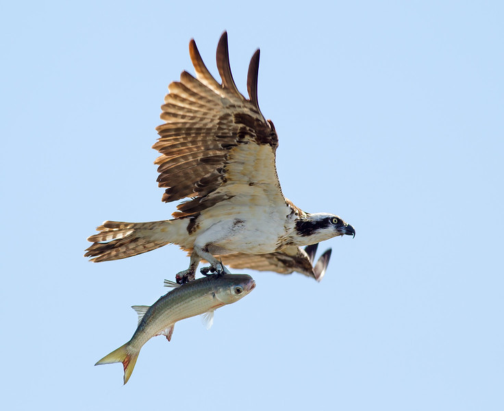 Female_Osprey_w_Large_Fish_AE4E2647Cropped.jpg