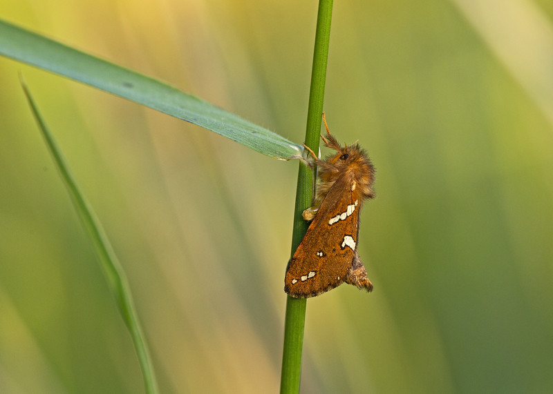 Gold Swift Moth