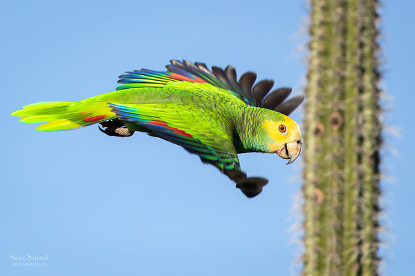 Parrots and Parakeets of Bonaire