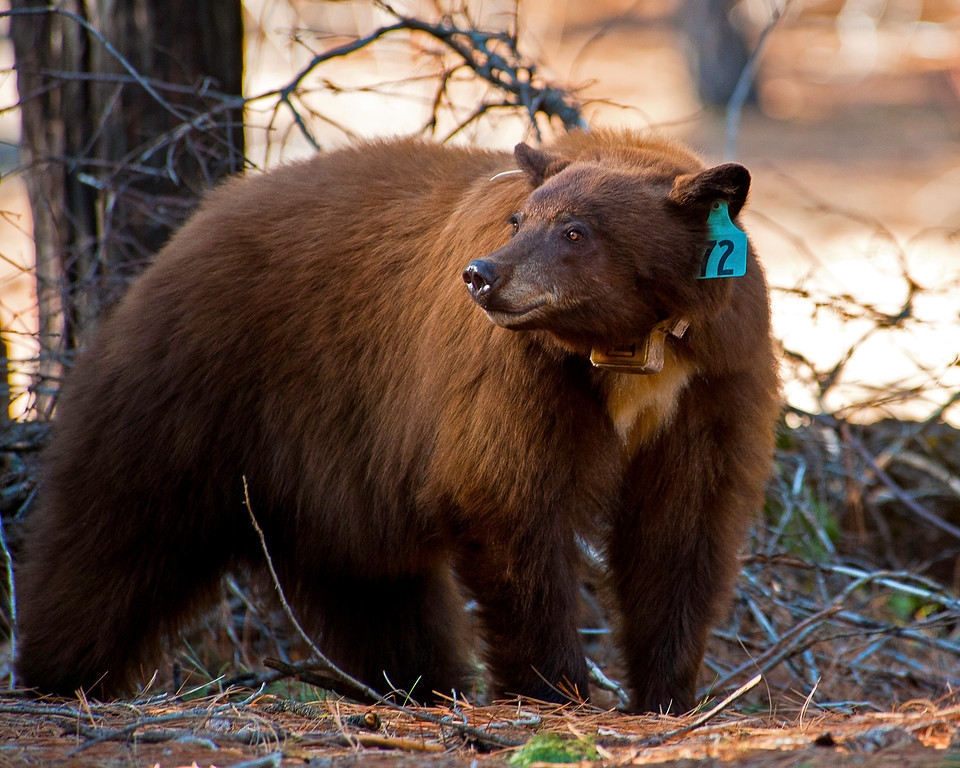 Tagged Sierra Nevada Black Bear, Yosemite