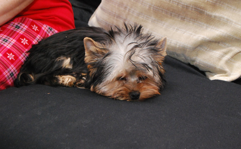 035 Yorkshire Terrier at 5 months.jpg