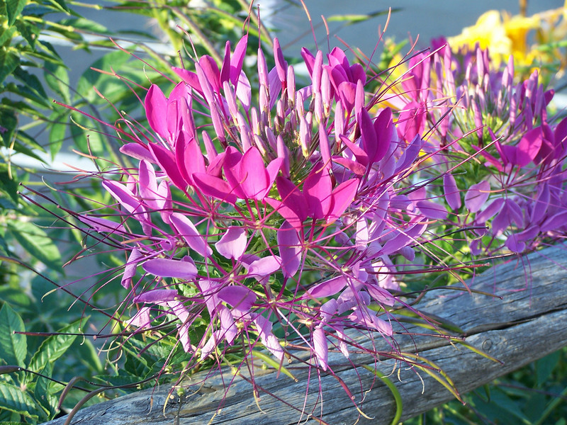 Cleome, or Spider Flower