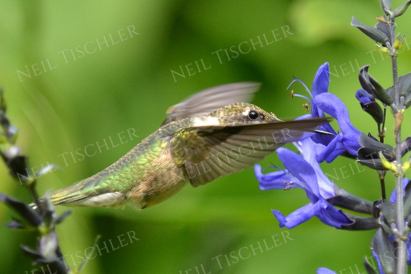 #1079  A ruby throated hummingbird feeds at a black-blue salvia blossom.