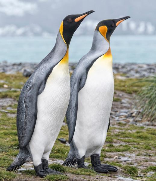 Penguins_King_King Haakon Bay-2.jpg